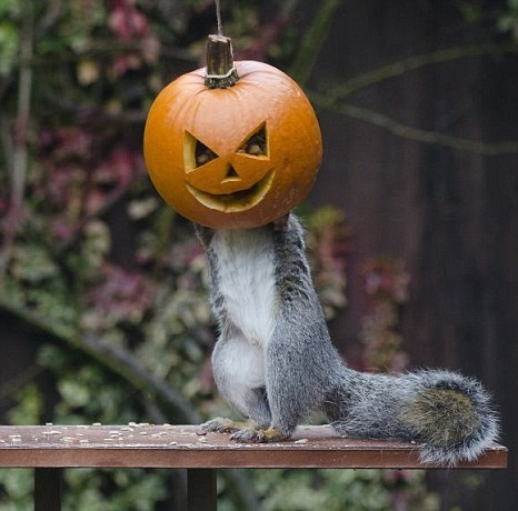 A squirrel with its head in a pumpkin